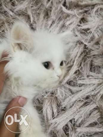 small cat two months انثى شهرين