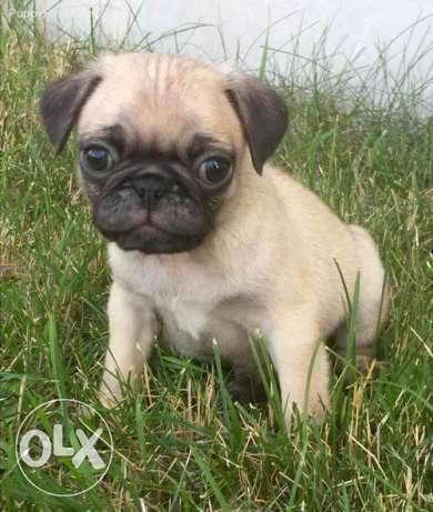 Puggy Pug For good persons home