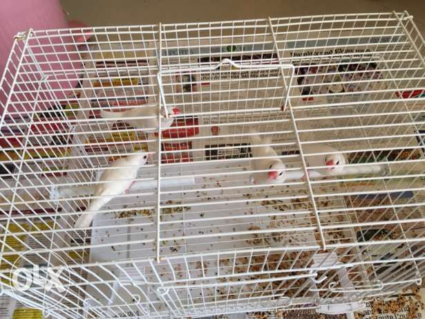 birds - 4 nos with Pizen with 9 kg of food is for sale مسقط -  2