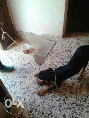 Doberman Shepherd مسقط -  7