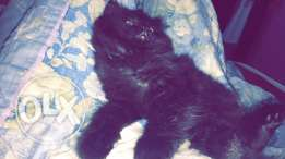 female cat for sale