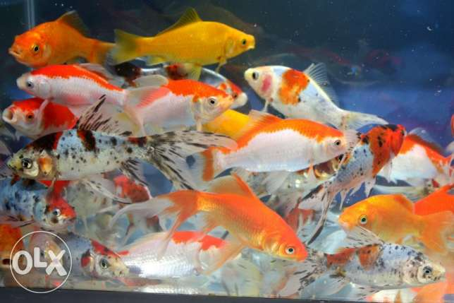 Japanese Koi Fish for sale
