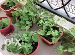 Very Fresh and good smell Ajwain (Nanakha ) plants for Sale