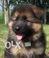 German Sheperd long hair work line puppies