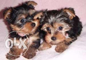 Healthy male and female Yorkshire Terrier Puppies for rehoming contac