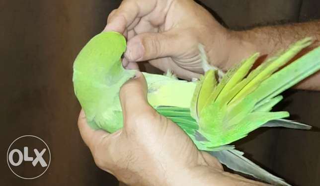 Domestic and Friendly Talking Green Ringneck مسقط -  2