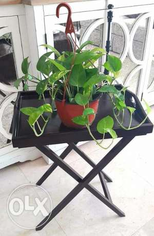 Fresh real money plant for sale.