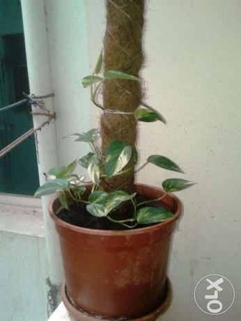 Money Plant for Sale in Qurum مسقط -  2