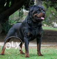 I need German Rottwiller about 3-6 months