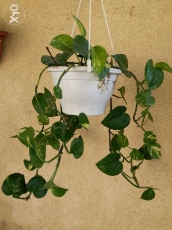 Nice Money plant for 6 rials