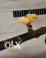 Beautiful canary birds for sale