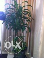 Potted Plants for Sale- Indoor and Outdoor