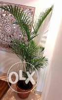 Original areca Palm plant approximately 6 feet tall great condition