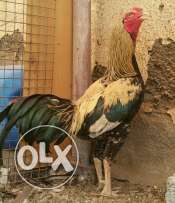 Pakistani Aseel Rooster for Sale