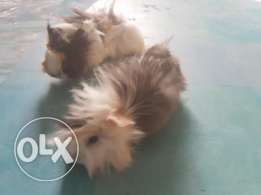 Pair of hairy guinea pig