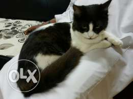 6 months old Cat for sell