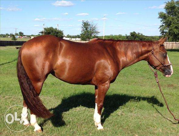 arabian gelding for sale مسقط -  6