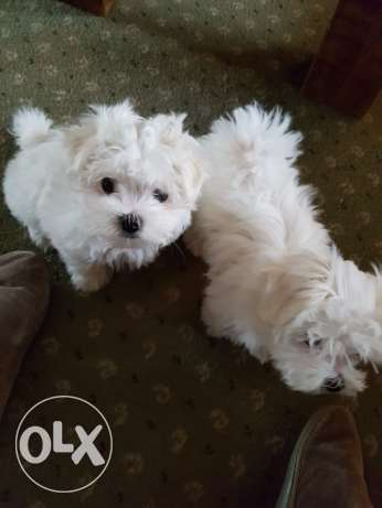 Maltese X Chihuahua available