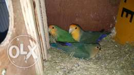 Jumbo Size, Very Productive, Orange Face Lovebird Pair With one Chick