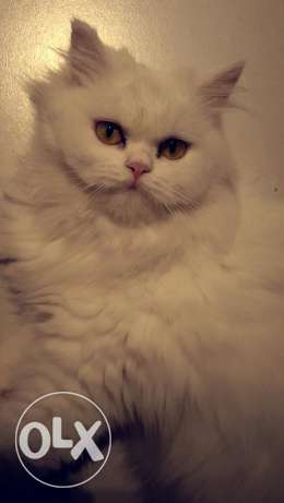 Female Turkish Angora cat