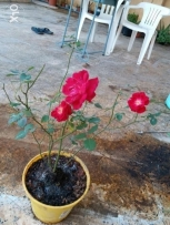 Well growing Desi rose plant 4 rails