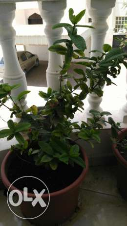 Outdoor plant for sale