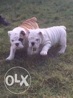 Two adorable english bulldog puppies now ready for new home