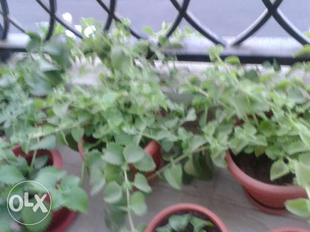 Ajwain ( Nanakha ) plants for sale. مسقط -  3
