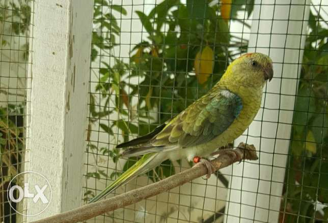 Elegant and Healthy Red-rumped parrot Female مسقط -  8