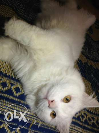 Turkish Angora Male cat. مسقط -  5