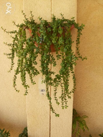 Large collections of different plants 1 to 15 rials السيب -  8