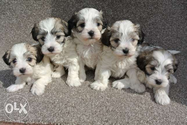 Stunning Shihpoo Puppies For Sale
