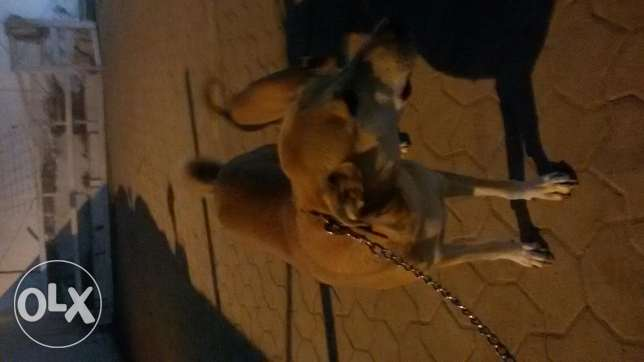 Two excellent obedient dogs for adoption السيب -  4