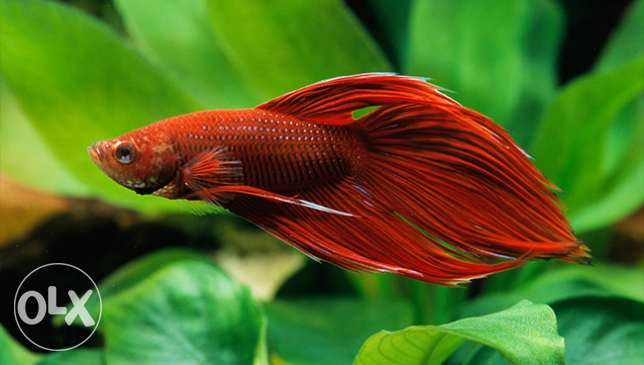 Beautiful Betta fish for sale