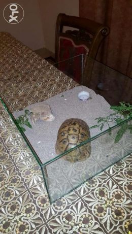 Desert Tortoise With A Nice Glass Home For Sale