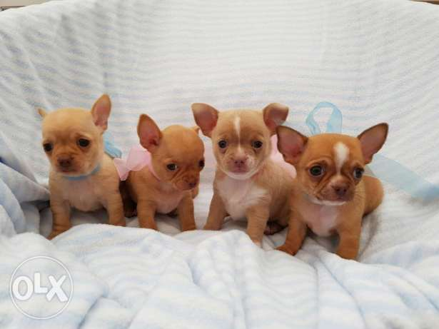 Beautiful Quailty Kc Reg Chihuahua Puppies