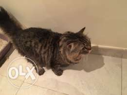 Tukish Perisan Male cat 2 years