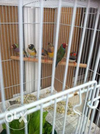 1pair gouldian and 1 pair zebra finch with 5 chicks and 1 big cages. مسقط -  1