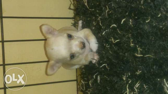 Chihuahua puppy (open for reservation) مسقط -  2