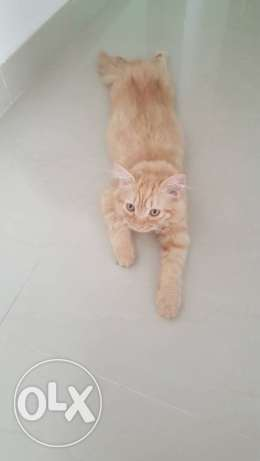Male cat for sale 60 OMR