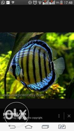 Wanted discus fish
