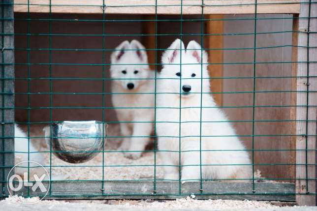 Swiss white shepard classified puppies