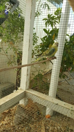 Elegant and Healthy Red-rumped parrot Female مسقط -  6