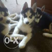 Pure bred litter of siberian husky puppies.