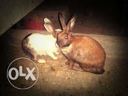 Rabbits (male and female)