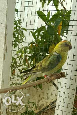 Elegant and Healthy Red-rumped parrot Female مسقط -  2