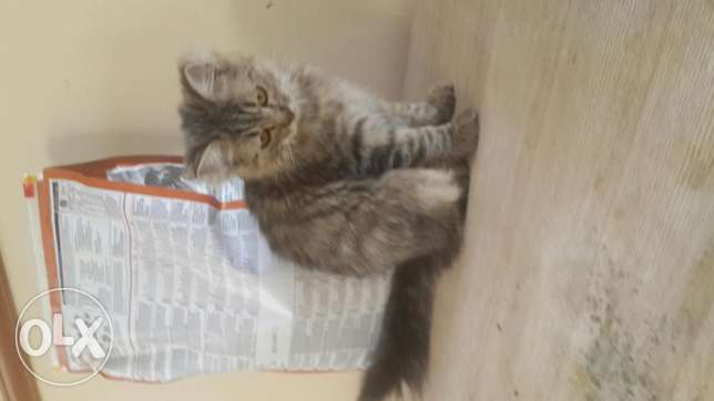 Turkish Angora Kittens For Sale مسقط -  2