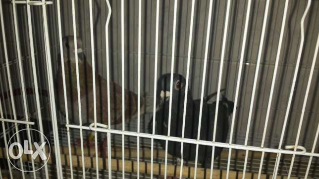 Pigeons for Sale OMR - 8/pair