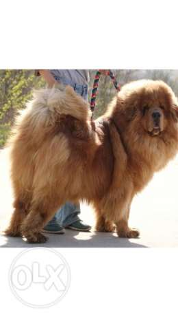 TIBETAN mastiff puppy dog for sale now in Oman