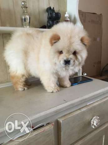 Cute and good looking chow chow puppies available